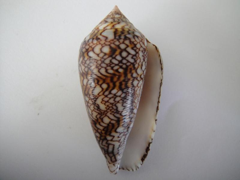 Conus (Cylinder) archiepiscopus  Hwass in Bruguière, 1792 Conus_53