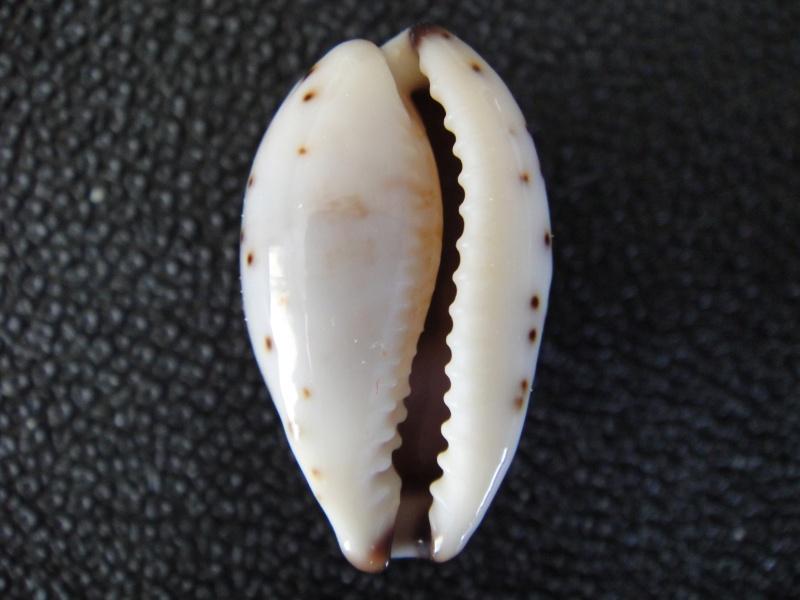 Purpuradusta gracilis gracilis - (Gaskoin, 1849) Cyprae28
