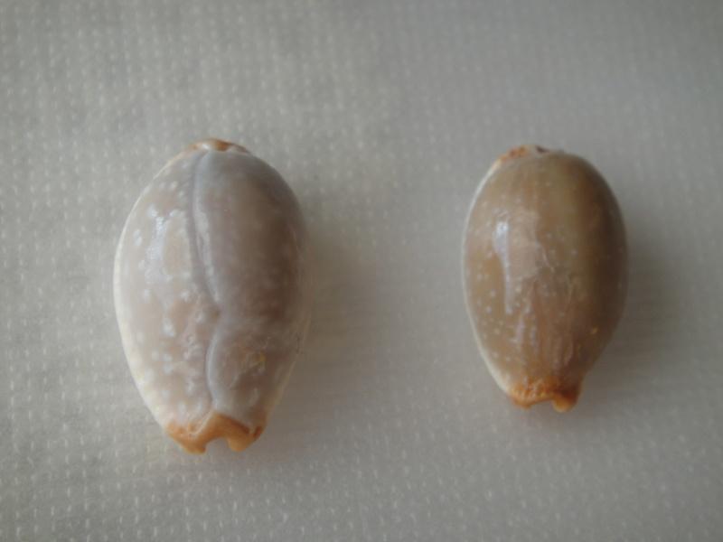 Staphylaea limacina limacina - (Lamarck, 1810) Staphy10