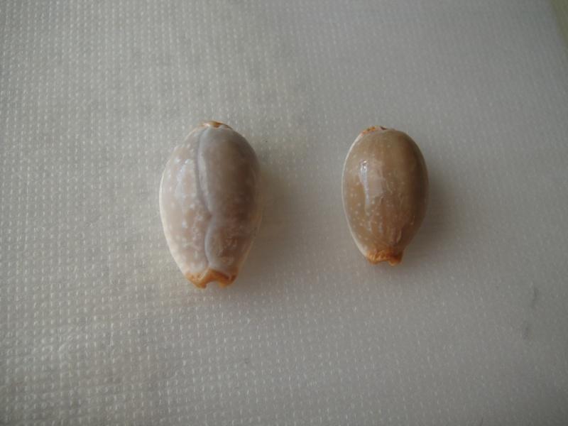 Staphylaea limacina limacina - (Lamarck, 1810) Staphy11