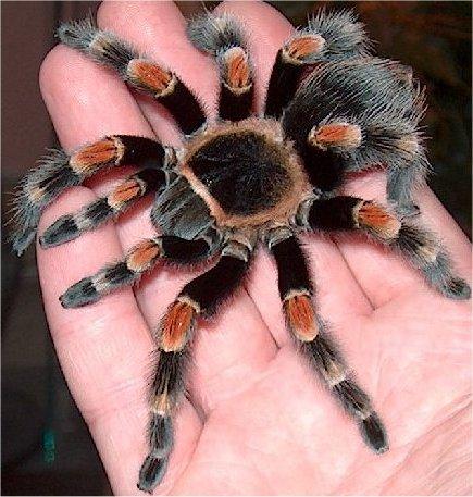 Черные и серые домашние пауки 31014_10