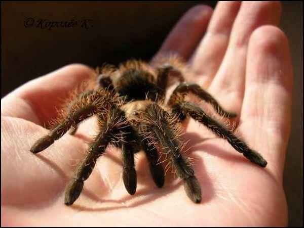 Черные и серые домашние пауки 38261510