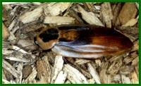 Все о тараканах Mdmt2814