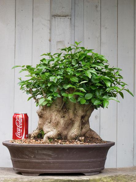 A very old privet hedge Ligust10