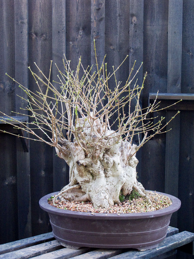 A very old privet hedge Sumo10
