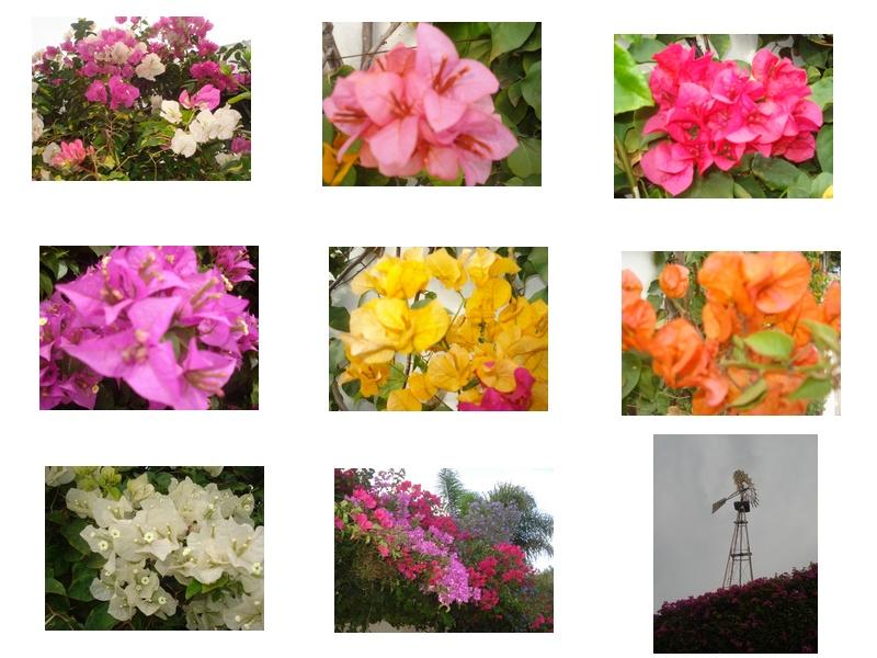 Jardin de Tropicana : Maroc /Casablanca - Page 16 Bougai10