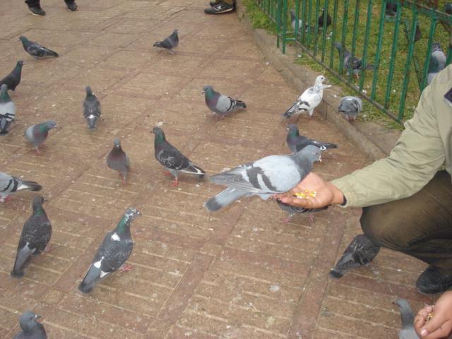 Serra da Estrela (Portugal) Pigeon10