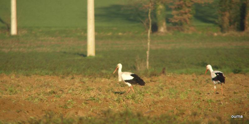 Cigognes bretonne Mon_im26