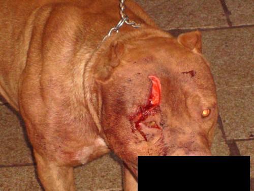 anjing pitbull vs pencuri 0310