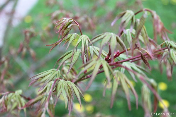 Les Acers Img_3740