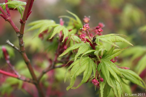 Les Acers Img_3742