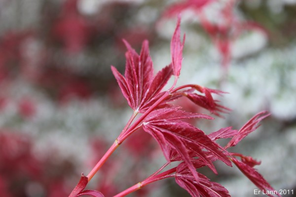 Les Acers Img_3743