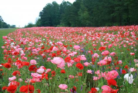 فوائد الورود و الازهار Field_10