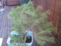 bonsaï à partir d'un pin Photo011