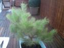 bonsaï à partir d'un pin Photo013