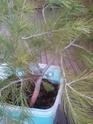 bonsaï à partir d'un pin Photo014