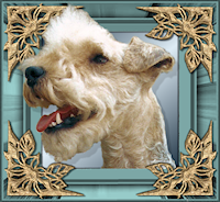 Nederlands Lakeland Terrier Forum