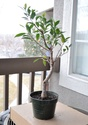 Taiwan Ficus - What to do with this one Ficus10