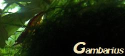 Gambarius