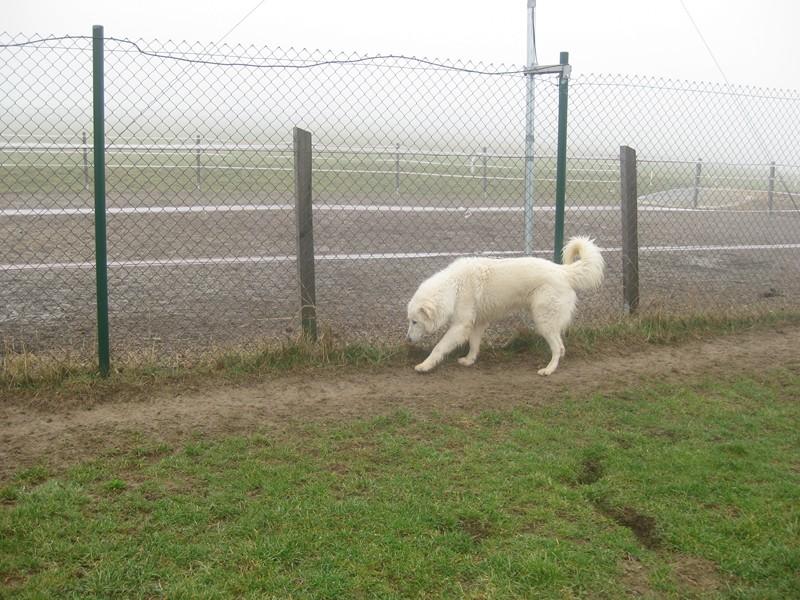 Kimbo ist da!! Großer weißer Maremmanorüde sucht was Eigenes... -vermittelt- Kimbo_12
