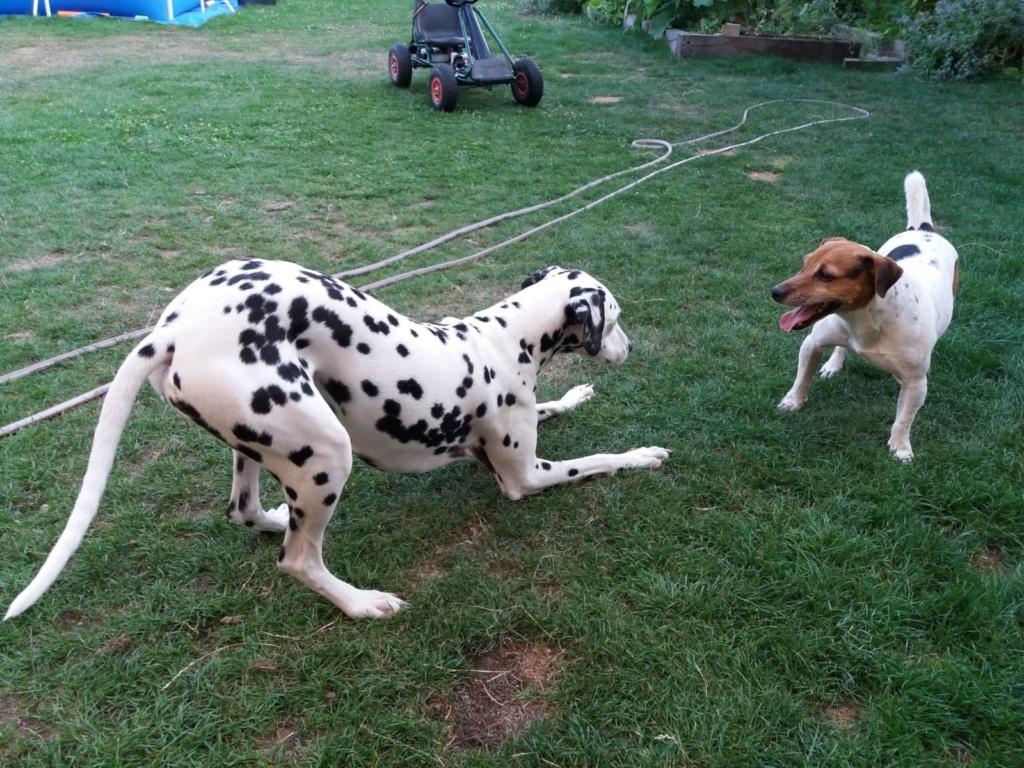 NIKO chien parfait, Jack Russel 5 ans 8/9 kg, région parisienne Img_0017