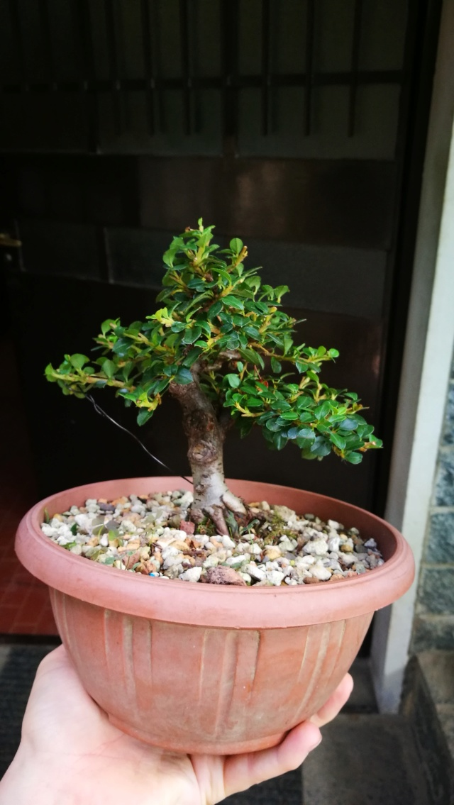 cotoneaster horizontalis futuro bonsai Img_2034