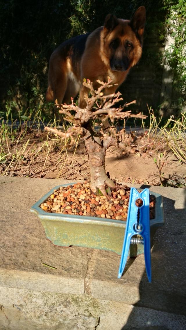 cotoneaster horizontalis futuro bonsai - Pagina 2 Img_2044