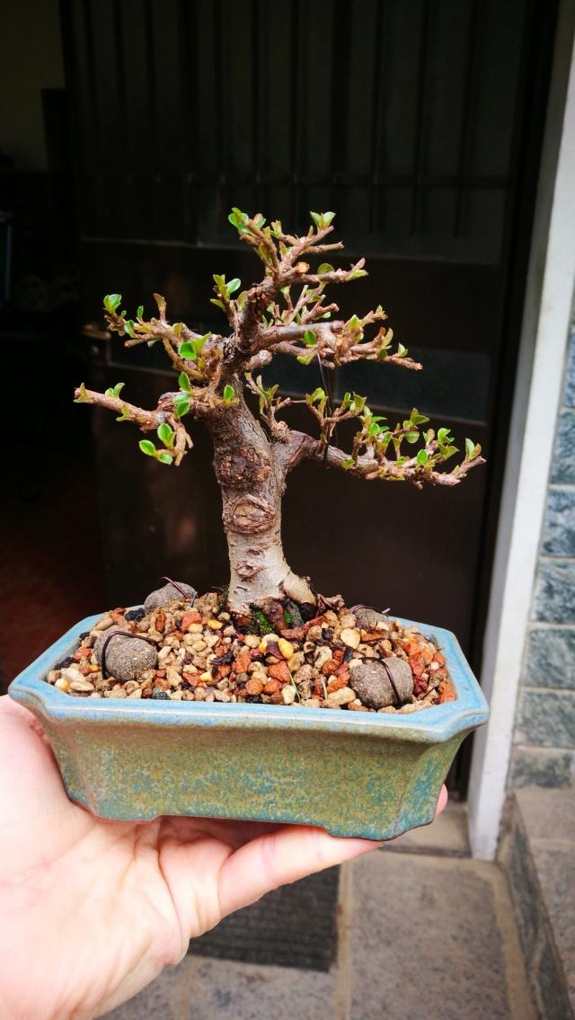 cotoneaster horizontalis futuro bonsai - Pagina 2 Img_2049