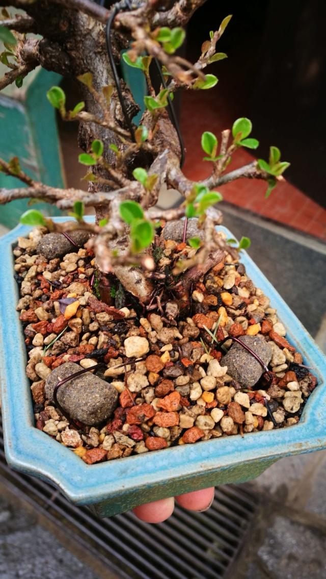 cotoneaster horizontalis futuro bonsai - Pagina 2 Img_2050