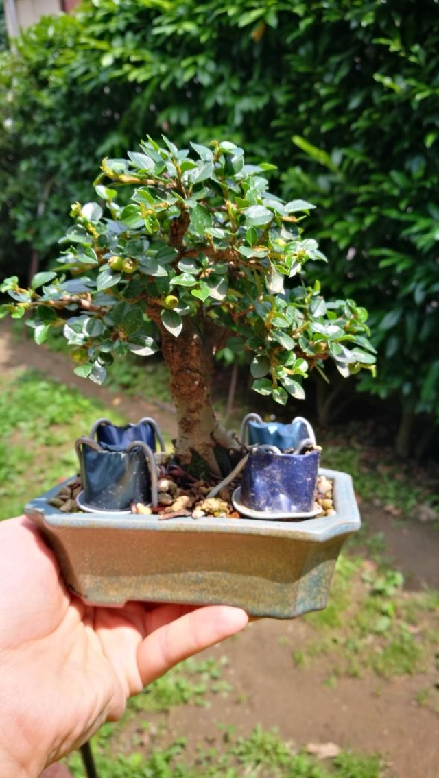 cotoneaster horizontalis futuro bonsai - Pagina 2 Img_2059