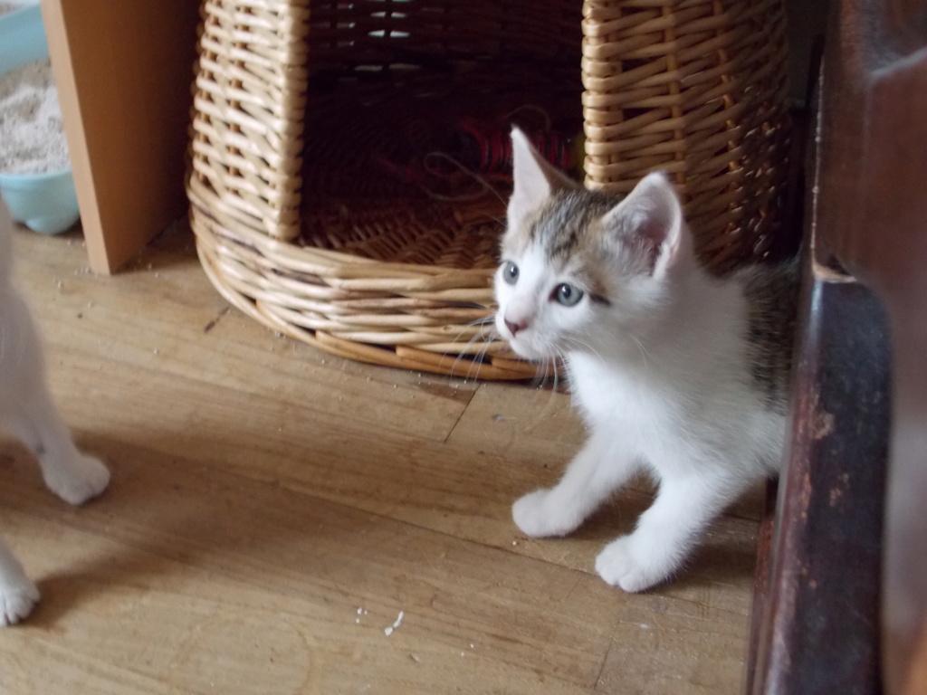 Oratio, chaton blanc gris marron tabby, type européen né le 10/07/2018 Dscn2414