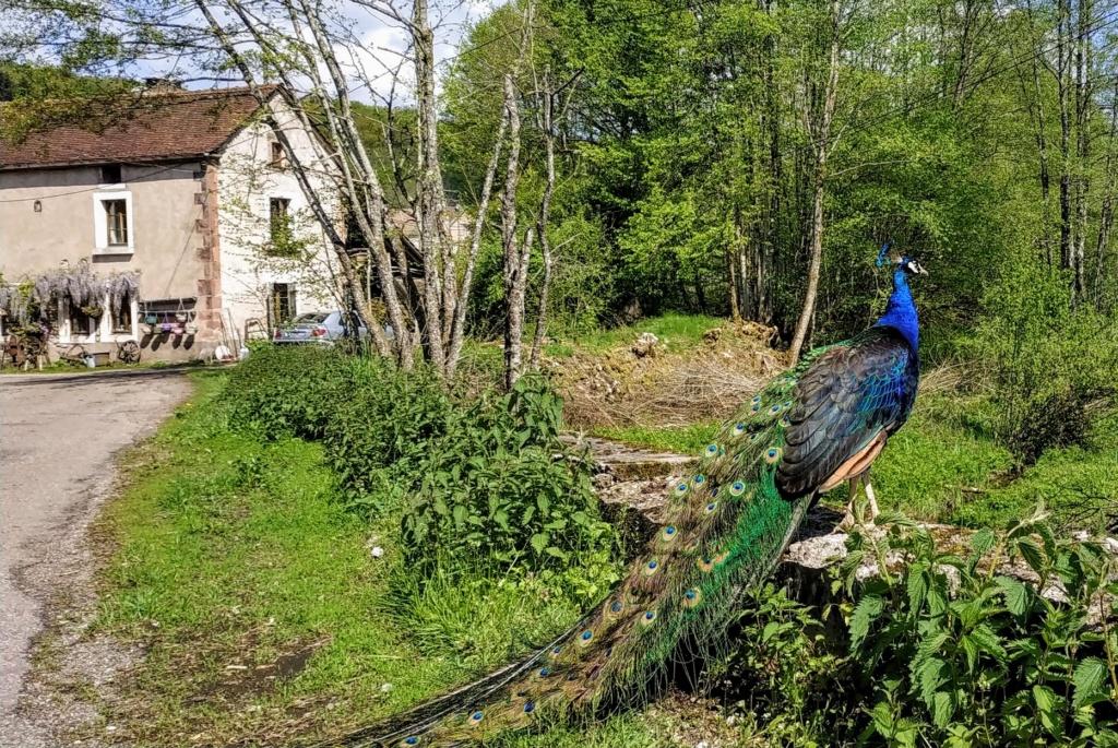 Mes balades dans les 1.000 étangs  ( Vosges )  Le_pao10