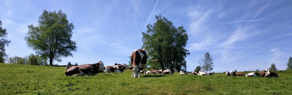 Mes balades dans les 1.000 étangs  ( Vosges )  Vache_10