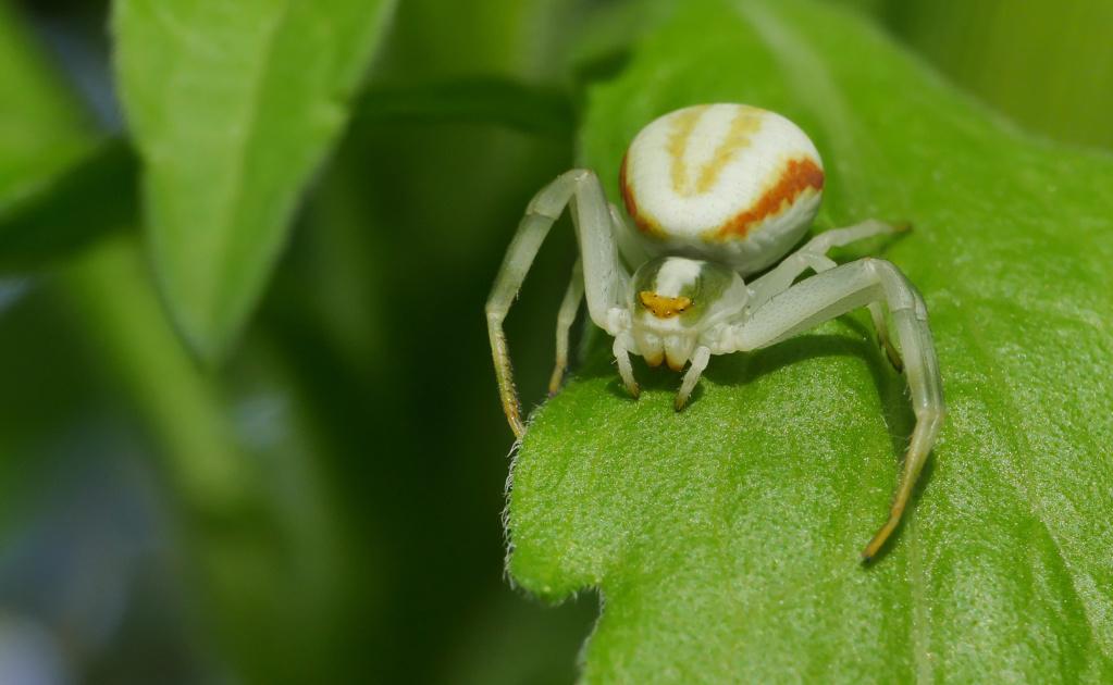 Araignée Crabe 11052022