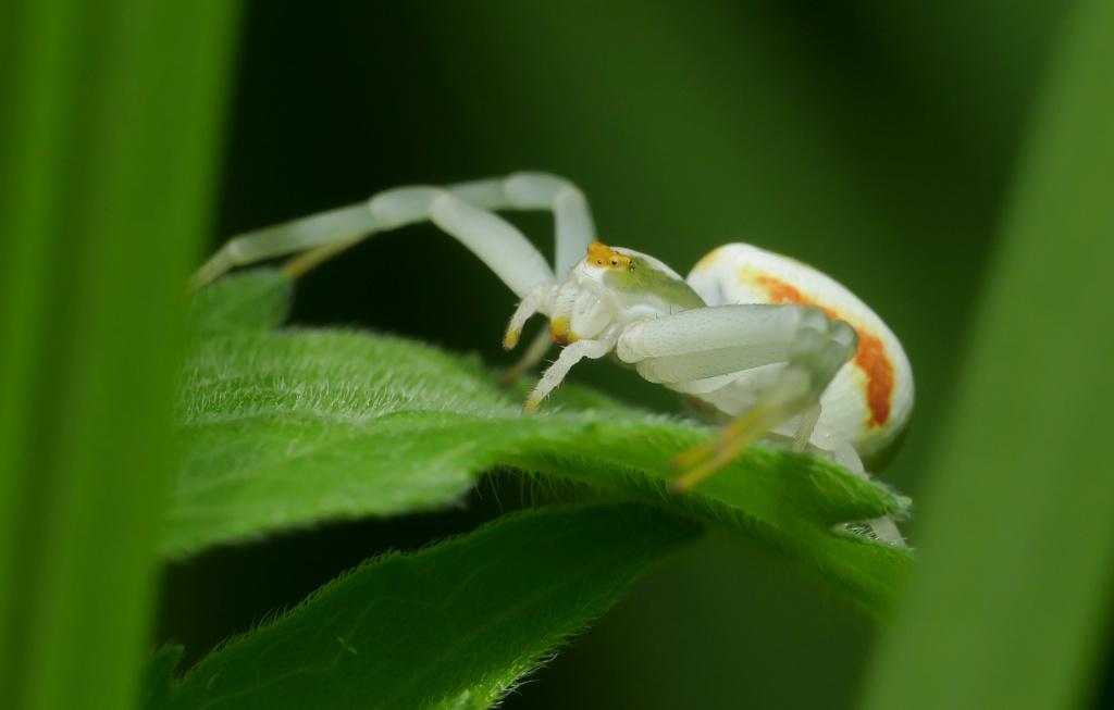 Araignée Crabe 11052023