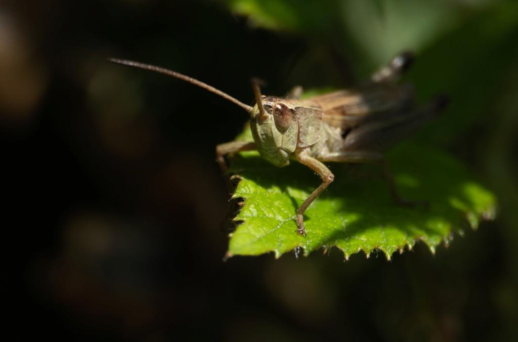 La sauterelle qui aimait poser  P1560712