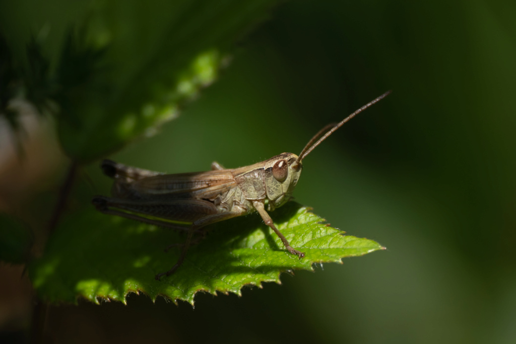 La sauterelle qui aimait poser  P1560713