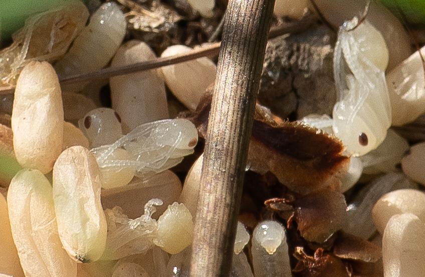 Panique à la fourmilière  P1570815