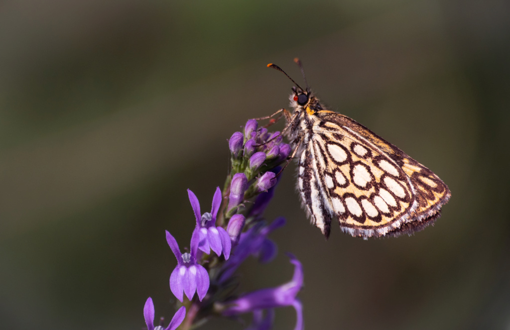 Papillonade  P1580120