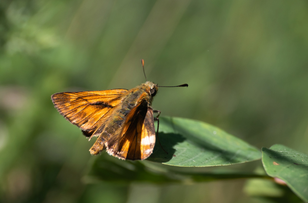 Papillonade  P1580125