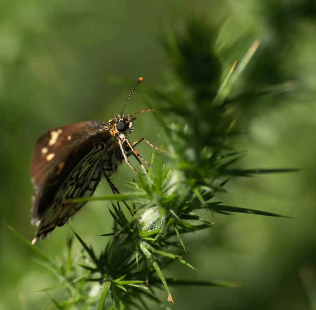 Papillonade  P1580126
