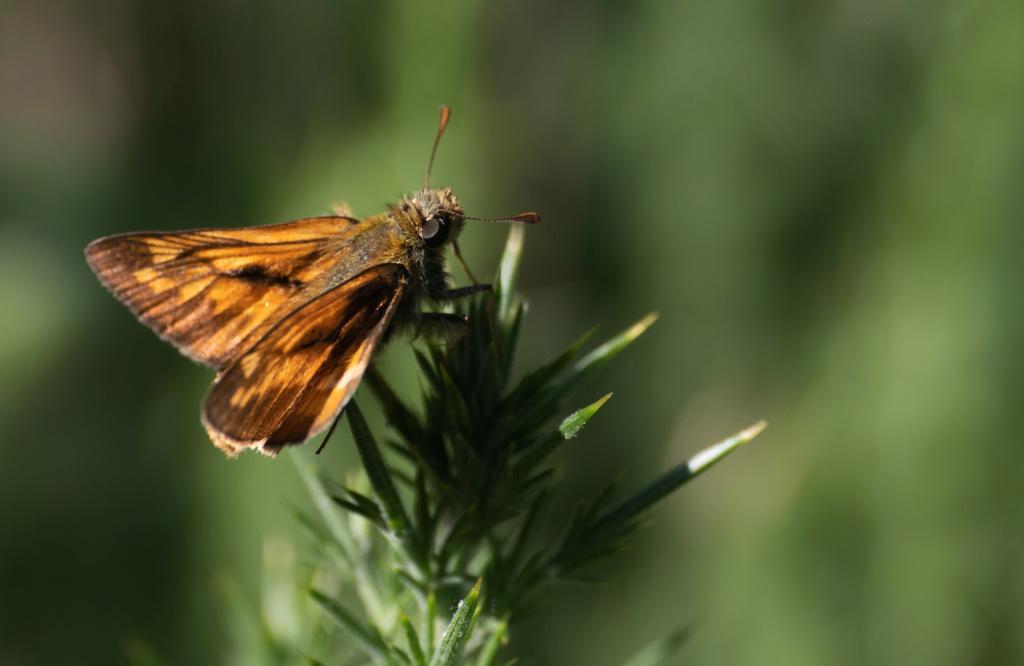 Papillonade  P1580127