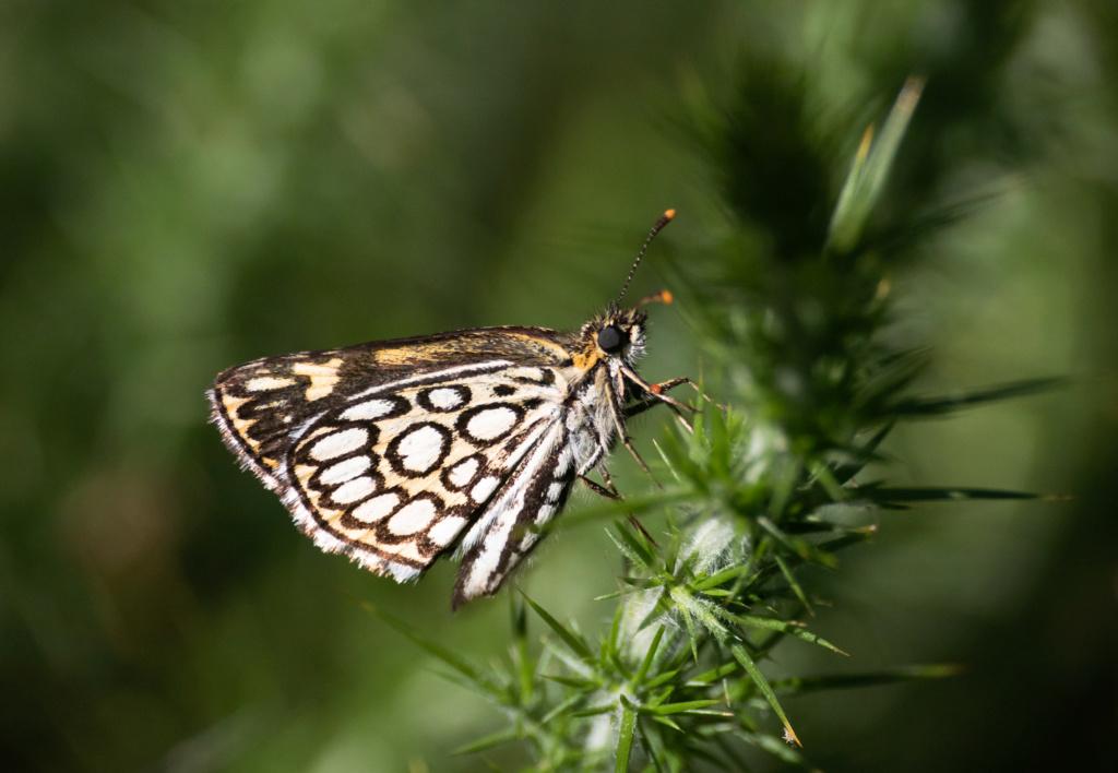 Papillonade  P1580128