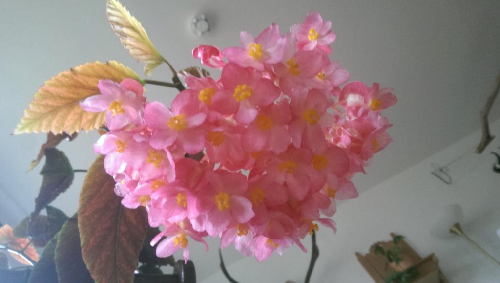 Begonia - Begonien - Seite 4 Imag1714