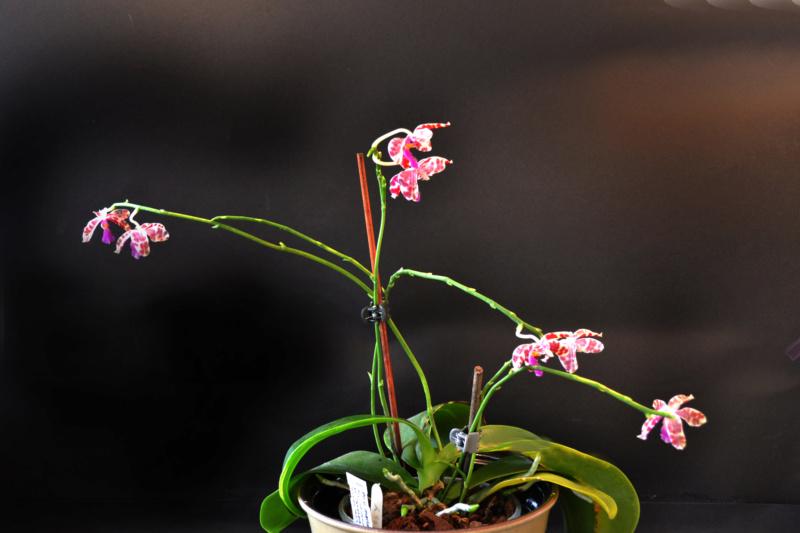 Phalaenopsis mariae x pulchra (Alamp) Dsc_8310