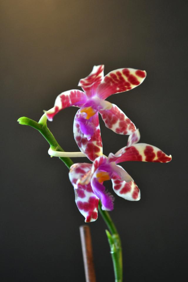 Phalaenopsis mariae x pulchra (Alamp) Dsc_8312