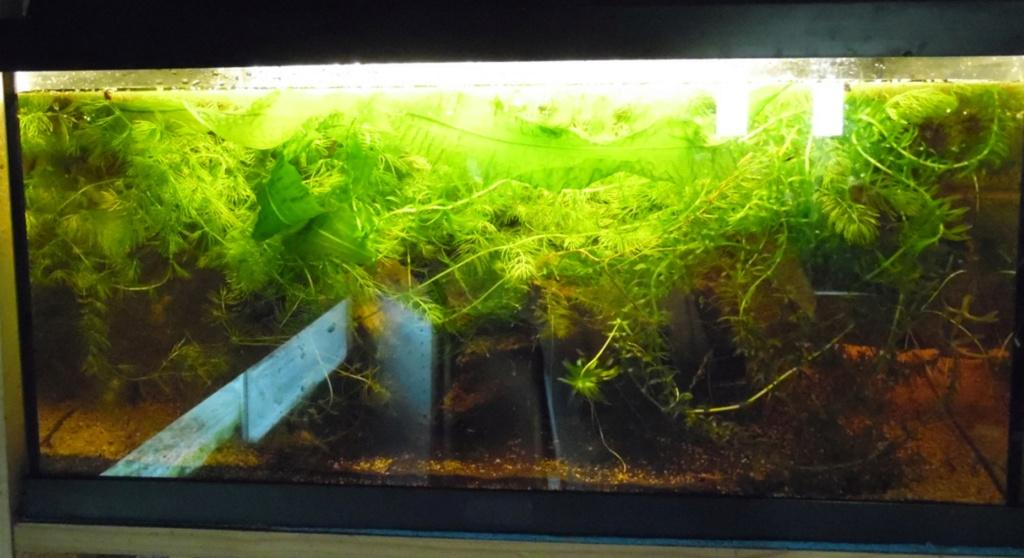 Aqua low tech pour amphibiens Aquaen11