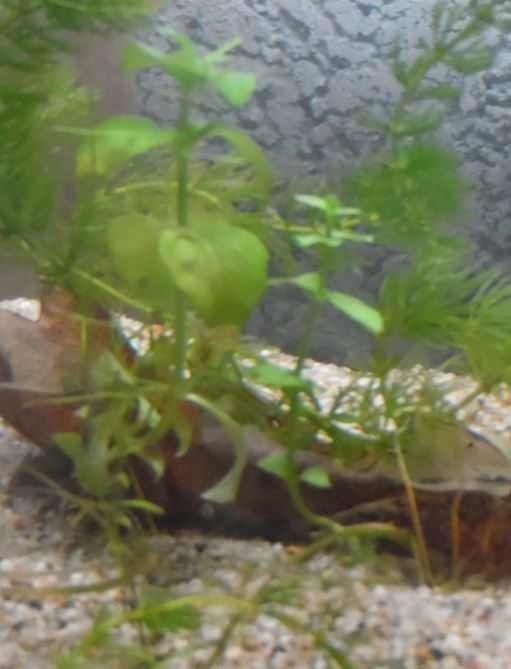 Plantes aquatiques locales Mentha10