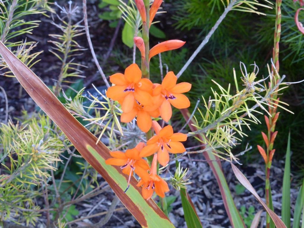 Watsonia meriana P1220537