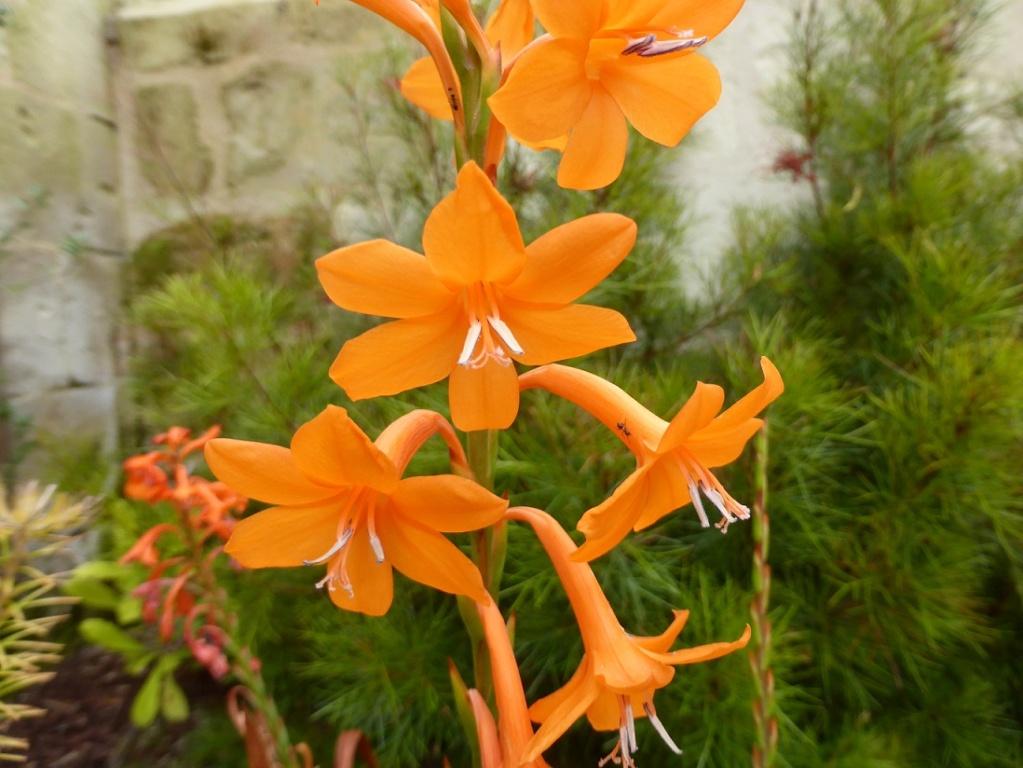 Watsonia meriana P1220539